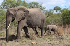 Network for Animals - Crusading against animal cruelty Gentle Giant, African Elephant, Animal Cruelty, Animal Welfare, Baby Elephant, Mom And Baby, Elephants, Calves, Wildlife