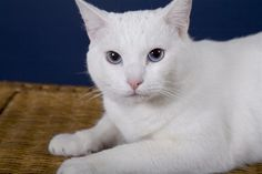 white cats | white cat with blue eyes