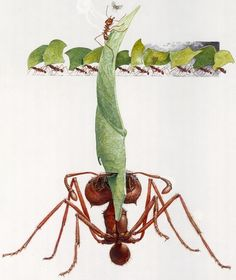 john dawson The Ants artist   John Dawson - leaf cutter ants, phorid fly