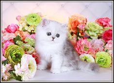 Ultra Light Shaded Silver Teacup Persian Kitten