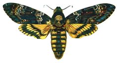 I think this would be nice for my left arm? I want this as my first tattoo. A deaths head hawk moth. Death Moth Tattoo, Moth Tattoo Design, Skull Moth, Old Book Art, Deaths Head Moth, Sphinx, Hawk Moth, Insect Art, Vintage Colors