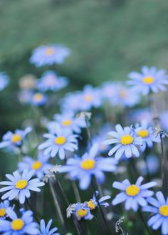 Forget - me - not (forglemmigej). So beautiful.
