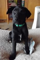 Brooke is an adoptable Black Labrador Retriever Dog in Aiken, SC. Brooke is a beautiful black pup. The mom was full black lab. Brooke is getting close to being 4 months old. She is sweet, has medium e...