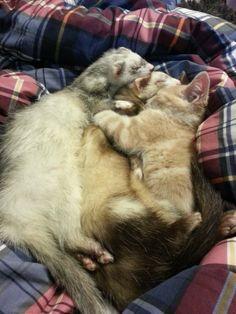 フェレットを多頭飼いしている飼い主が路上でさまよっている子猫を招き入れた。フェレットと猫のミルフィーユが出来上がった。 : カラパイア