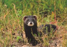 European polecat European Polecat, Ferrets, Badger, Mammals, Awesome, Funny Animals, Ferret