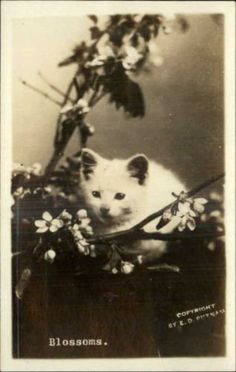 Fluffy-White-Kitten-Cat-Flowers-Blossoms-Branches-Real-Photo-c1910-Postcard