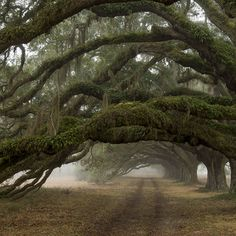 Magnificent Oaks in Charleston! Call on Carolina's Executive Limo Line for all of your ground transportation or tours of Charleston. http://www.celimoline.com