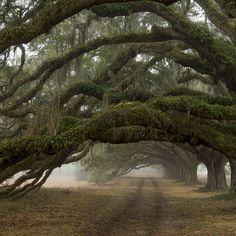 Avenue of Oaks - Dixie Plantation -