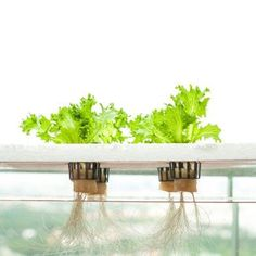 Hydroponic dwc-hydroponics - Have you heard about deep water culture for plants?s also referred to as hydroponics. Maybe you have a gist of what it is and how it can be used but, really, what is deep water hydroponics? This article will explain more. Hydroponic Herb Garden, Hydroponic Vegetables, Hydroponic Farming, Indoor Vegetable Gardening, Hydroponic Growing, Hydroponics System, Gardening Tips, Organic Gardening, Diy Hydroponics