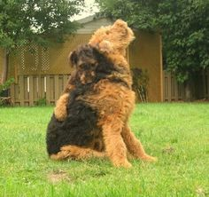 2-Headed Airedale!