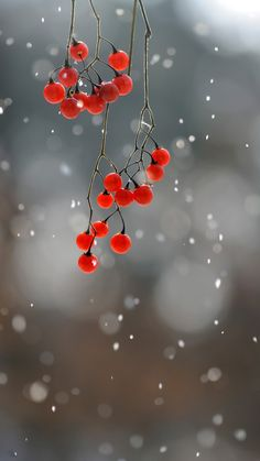 A cold, grey day. A branch holds reds berries, flashing neon signs. -Linda J. Wolff