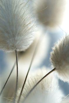 bunny tails | lagurus ovatus | #grass