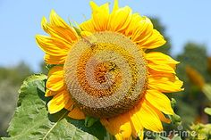 Sunflower - Stock Photos - Download From Over 61 Million High Quality Stock Photos, Images, Vectors. Sign up for FREE today. Image: 94917241