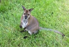 The Kangaroo Creek Farm has some of the cutest creatures from down under. Cross holding a Joey off your bucket list! #bwkelowna http://www.bestwesternkelownahotel.com/blog/okanagan-attractions/exotic-animal-attractions-in-the-okanagan.html
