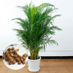 \nEgrow 5 Pcs/Pack Potted Bamboo Seeds Home Decoration Areca Palm Bonsai Butterfly Palm Plants Bonsai\n Barbados, Bonsai Plante, Belize, Bamboo Seeds, Simple Packaging, Seeds Online, Palmiers, Potted Bamboo, Palm Plants