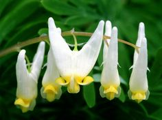 Dicentra cucullaria (Dutchman's Breeches) .for the woodland garden - ordered but did not arrive. Strange Flowers, Unusual Flowers, Most Beautiful Flowers, Rare Flowers, Pretty Flowers, Flowers Pics, Colorful Flowers, White Flowers, Beautiful Pictures