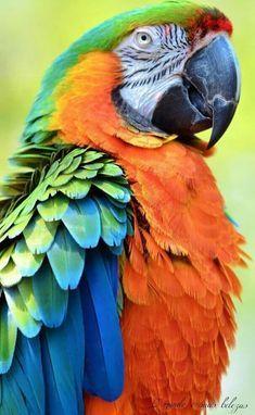 37 Popular Ideas for flying bird tattoo shoulder beautiful Tropical Birds, Exotic Birds, Colorful Birds, Exotic Pets, Animals Images, Animals And Pets, Cute Animals, Best Pet Birds, Bird Painting Acrylic