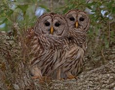 Whooo's looking at you? Florida Barred Owls