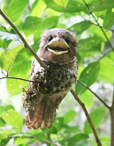 holy crap - look at this bird!    Philippine Frogmouth (Batrachostomus septimus) by cebu blackshama, via Flickr
