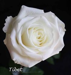 White Tibet Rose (these are my favs for weddings...perfect size and coloring