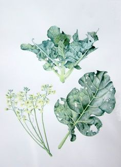 Botanical Illustrations - Watercolours by Jessica Rosemary Shepherd, via Behance