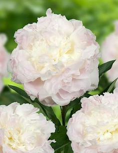 FLORENCE NICHOLLS: Nice smelling peony. With large double rose shaped flowers that are blush white coloured. Very strong stems and good grower.