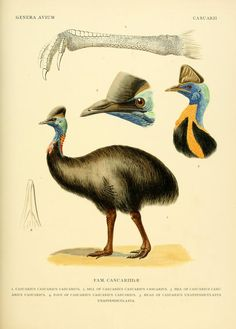 """Genera avium / - Biodiversity Heritage Library 