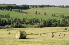 Image result for Prince Edward Island cows