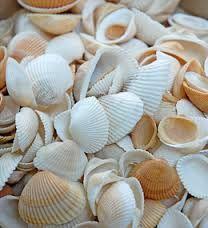 shells - Google-Suche