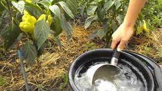 Zelené hnojenie sa stáva čoraz populárnejším medzi ľuďmi , ktorí si chcú dopestovať zdravotne bezpečné plodiny, bez používania chemikálií. Spôsobom, ako dostať do pôdy potrebné živiny, a pritom zachovať nezávadné prostredie pre ostatné rastliny, živočíchy a podzemné vody je práve zelené hnojenie. Garden Hose, Herb Garden, Small Farm, Herbs, Gardening, Plants, Outdoor, Youtube, Sodas