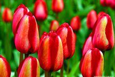 Beautiful Flowers - Tulip Patch
