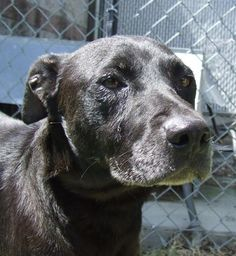 Paulette - URGENT - CITY OF COLUMBIA ANIMAL SERVICES in Columbia, SC - ADOPT OR FOSTER - 7 year old Spayed Female Lab Retriever - Found as a stray.  I do have a playful side and like to fetch tennis balls. I'm calm, friendly, patient, easy going and grateful for every kindness shown me because I've had a hard life. But you can change that in my senior years.