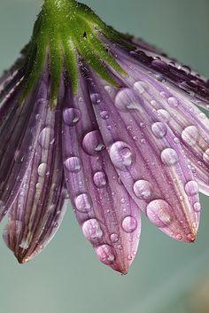 Damp osteospermum flower