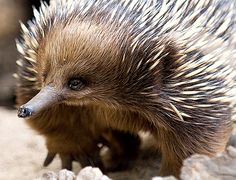 Echidna (by mikebrown3064)