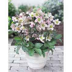 Helleborus Pink Beauty - Hellebore | Johnstown Garden Centre, Ireland