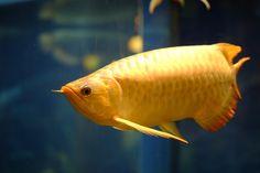 Arowana fish by Eddie Lau - Photo 23839393 - 500px