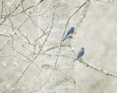"Bluebirds in Spring    by Tracey Tilson Photography  Art Print / MINI (10"" x 8"")    $19.00"
