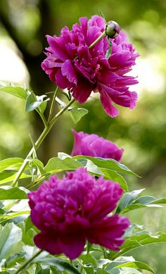 Peony -- Right now is their time to be blooming. They are beautiful!