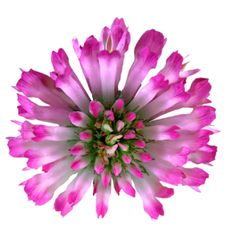 Red Clover produces rounded pinkish-red or pinkish-purple blooms in late spring and summer. This little 'weed' contains chemical compounds called isoflavones, which have been found to reduce UV-induced skin inflammation. Extract obtained from clover leaf and clover root is considered antioxidant and able to improve the skin's general condition