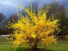 Forsythia - This would look awesome in my yard...