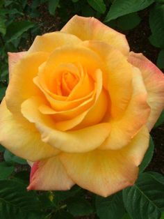 Excellent Free Hybrid Tea Roses peace Style Crossbreed tea is definitely the older group of flowers considered modern-day back garden roses. Pretty Roses, Beautiful Roses, Yellow Roses, Red Roses, Peace Rose, Flower Phone Wallpaper, Hybrid Tea Roses, Growing Roses, Special Flowers