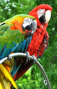 Arara Verde & Arara Vermelha | Green Macaw & Red Macaw #arara #macaw