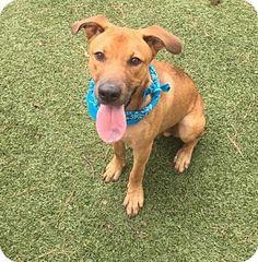 Atlanta, GA - Shepherd (Unknown Type)/Labrador Retriever Mix. Meet Ross, a dog for adoption. http://www.adoptapet.com/pet/17424597-atlanta-georgia-shepherd-unknown-type-mix