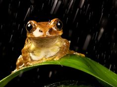 Peacock Tree Frog /  Photograph by Mark Bridger,   A female peacock tree frog sitting in the rain at night