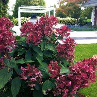 Hydrangea paniculata Wim's Red, Fire and Ice Hydrangea Paniculata, Fire And Ice, Small Trees, Trees And Shrubs, Flowers, Plants, Outdoor, Space, Outdoors