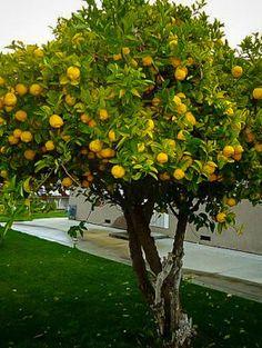 Eureka Lemon Tree Citrus Trees, Fruit Trees, Orange Trees, Eureka Lemon Tree, Meyer Lemon Tree, Small Palm Trees, Baumgarten, Garden Trees, Back Gardens