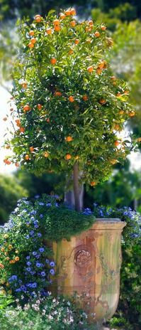 Container gardening...French anduze pot with citrus tree underplanted with annuals