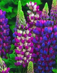 Gallery Blue Shades--lupin Lupines are herbaceous perennials whose large, pea-like flowers come in amazing colors and combinations. Grown in full to part sun, they do not tolerate heat or humidity well. Getting 2-3' tall, they bloom in early to midsummer. Deer resistant, easy to grow, they are used in beds, borders, containers, and slopes