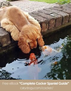 Cute Dogs And Puppies, I Love Dogs, Doggies, Golden Retrievers, Animals And Pets, Funny Animals, Cockerspaniel, Cocker Spaniel Dog, Tier Fotos