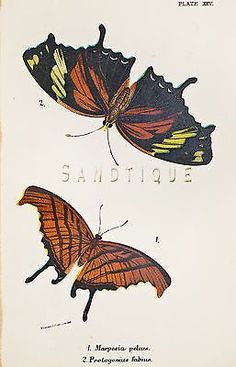 Kirby Butterflies & Moths - MARPESIA PELEUS - Chromolithograph - 1896